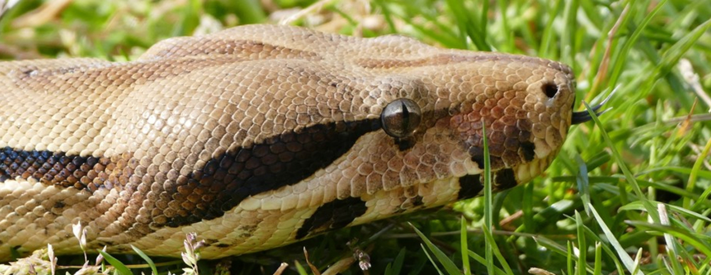 boa dusiciel uciekł wąż atak na człowieka