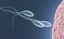 plemniki sperma komórka jajowa zapłodnienie