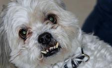 Pies bez smyczy i kagańca - nowe przepisy i kary. Mandat może wynieść tysiące złotych za niebezpieczne rasy psów