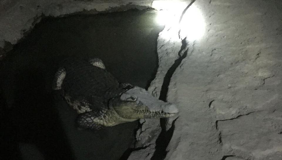 Krokodyl nilowy znaleziony w piwnicy mierzy niemal 2 metry.