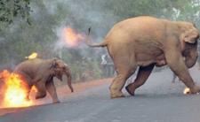 Botswana. Populacja słoni jest za duża - tak twierdzą afrykańscy politycy. Rozwiązanie? Ostrzał i polowania na słonie. Z mięsa powstanie karma dla zwierząt