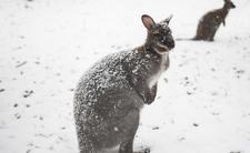 W Australii spadł śnieg
