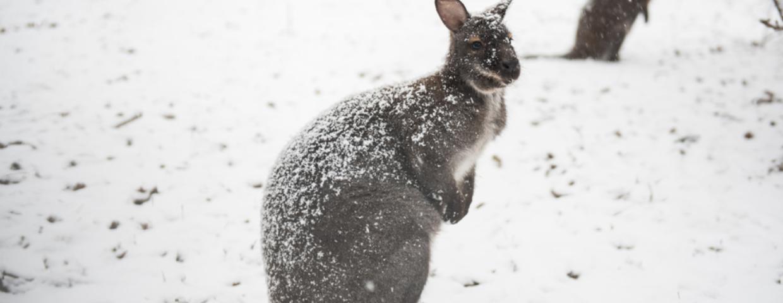 Śnieg w Australii