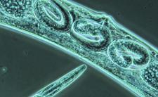 Będziemy nieśmiertelni? Wskrzeszono robaki mające ponad 40 tys. lat