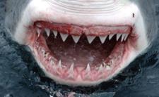 Rekin zjedzony w całości - zawsze znajdzie się większa ryba