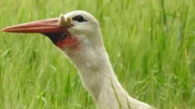 Dieta bociana - ten brutalny morderca zje nawet własne młode