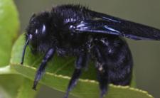 Czarna pszczoła w Polsce powraca. Czy jest bezpieczna?