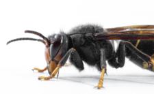 Szerszeń czarny w Polsce -czy to niebezpieczny owad?