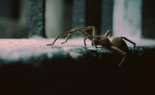 Jadowite pająki w Polsce