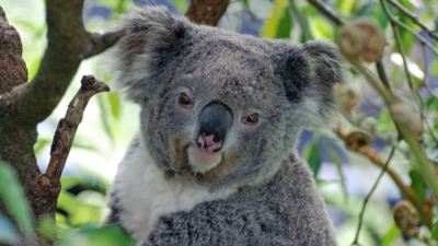 Zwierzęta i zaskakujące dźwięki - koala jednak nie taki słodki?