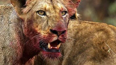 Kłusownik polował na nosorożca, zagryzły go lwy