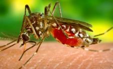Koronawirus i komary - epidemia rozprzestrzenia się przez ukąszenia?