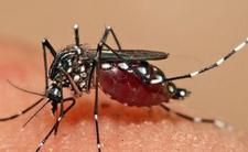 Komar tygrysi w Europie  - grożą nam zabójcze emidemie chorób tropikalnych
