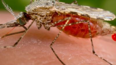 Komary koreańskie w Europie. Przenoszą zabójcze choroby?