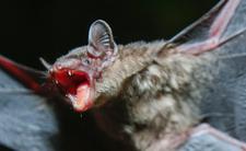 Łowcy nietoperzy chcą zapobiec nowej pandemii