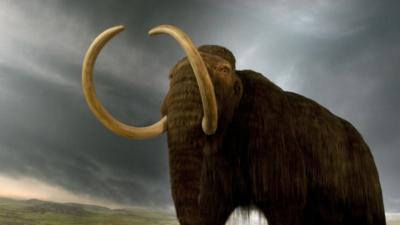 """Mamuty powrócą? naukowcy chcą je """"wskrzesić"""""""
