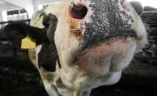 Najmniejsza krowa świata. Ludzie ryzykują życiem, by zrobić z nią selfie