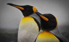 Pingwin w środowisku naturalnym