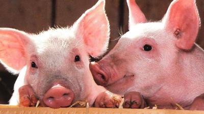 Naukowcy ożywili mózgi martwych świń