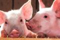 Ożywili mózgi martwych świń