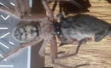 Wielki pająk jak z horroru - ta bestia istnieje!