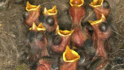 Ptasia grypa - człowiek może się zarazić. WHO apeluje: potrzebna szczepionka