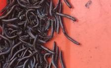 Są obrzydliwe i cuchnące. Plaga paskudnych robaków w Polsce