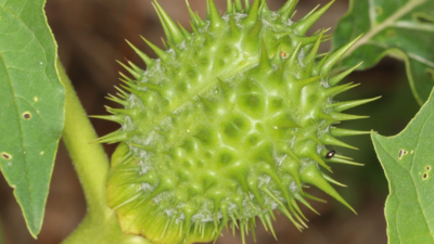 Toksyczna szkodliwa roślina w Polsce - młodzież zażywa ją jako narkotyk