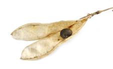 Złotokap zwyczajny cieszy oczy i kostuchę. Popularna roślina zabójczo niebezpieczna