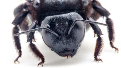 Czarna pszczoła wraca do Polski