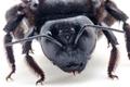 Wielkie, czarne pszczoły w Polsce. Pod żadnym pozorem ich nie zabijaj!