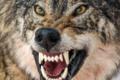 Wilki-mutanty nadchodzą! Nadciągają z Czarnobyla