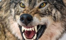 Wilki z Czarnobyla ruszają na Europę