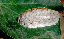 Niebezpieczne gąsienice atakują