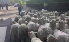 Zapisali owce do szkoły - to efekt decyzji prezydenta Macrona