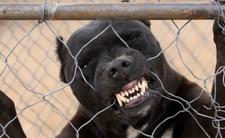 5-latka zaatakowana przez pitbulla. Walczy o życie