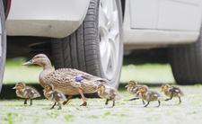 Kacza rodzina przechodziła ulicą. Zwyrodnialec ruszył i rozjechał pisklę