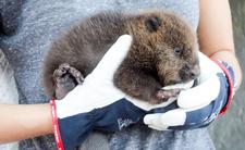 Brutalnie mordowali i zjadali bobry - polscy kłusownicy urządzili zwierzętom horror