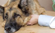 Pies walczy o życie