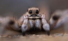 Jadowite pająki znalezione w Wielkopolsce