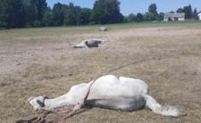 Tajemnicza śmierć koni w Wielkopolsce