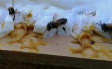 Morderca pszczół - zabił 250 tys. owadów w pasiece