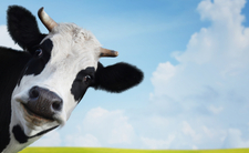 """""""Krowa plus"""" zagrożone"""