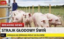 500 plus na krowy? Świnie strajkują!