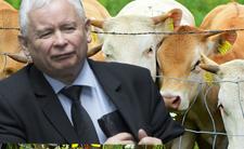 Kaczyński zapłaci za krowy i świnie... więcej niż na dziecko!