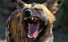 Dziki zwierz terroryzuje Zgierz! Straż miejska: TO HIENA!