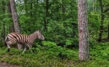 Zebra w lesie pod Elblągiem
