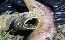 Katastrofa ekologiczna w Polsce. Zginęły tysiące