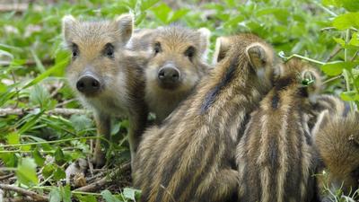 Minister chce masakry dzików - polskie wojsko ma zabijać zwierzęta