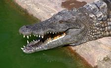 Krokodyl w polskim jeziorze?! Gad sieje grozę